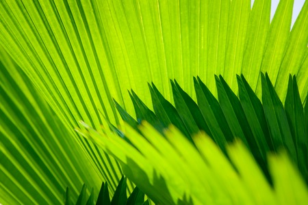 Palm leaf with diagonal lines close up, the texture of nature rainforest