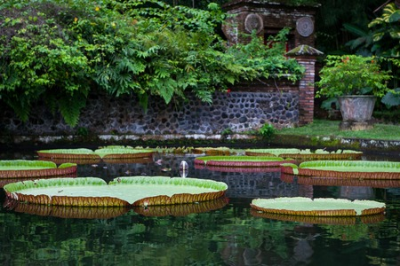 Large water lilies Lotus in a pond with flowers in Bali Tirta Gangga, Indonesia