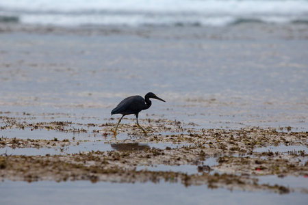 ardeidae: The black Heron on the sea or ocean to hunt during low tide, into the waves
