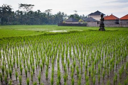 pesticides: The green shoots of the rice plantations on the background of white house farm, palm trees and jungle