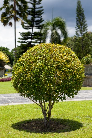 bushy plant: Park with bushes in the form of a ball and green lawns