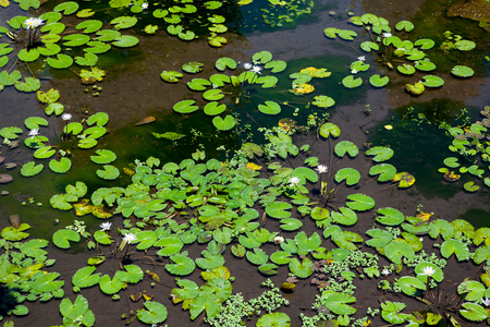 Water lilies flowers in a pond