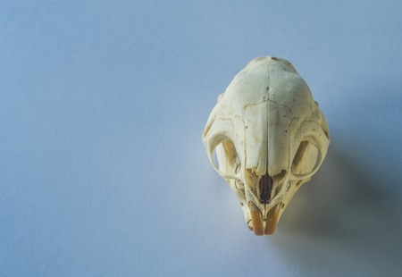 skull of a rodent on clean background Stock Photo