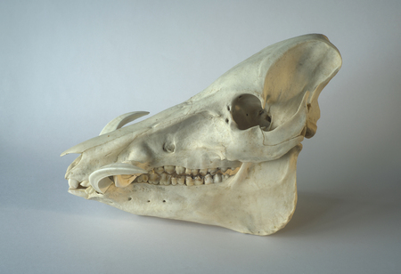 Wild Boar or Wart Hogs phacochoerus africanus skull