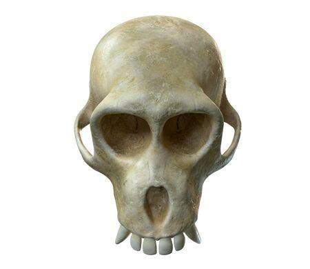 3D render of Monkey Skull isolated on white. Zdjęcie Seryjne - 130053431