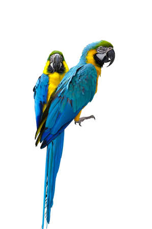 blue parrot: Two macaw parrots isolated on white Stock Photo