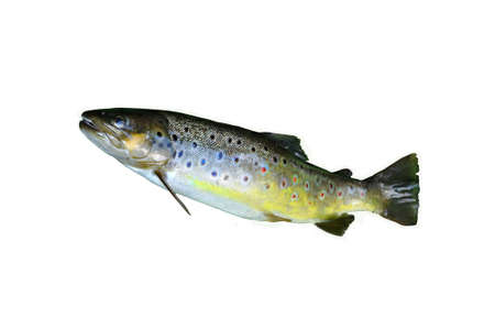 trout fishing: Brown trout isolated on white Stock Photo