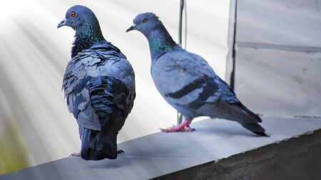 pigeons are ready to fly to roam the world but before that they looking for a prey