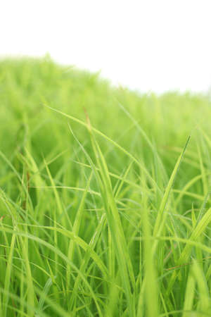 Grass. Fresh green spring grass with sunlight closeup.Soft Focus. Nature Background. Banque d'images - 167045739
