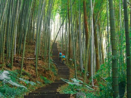 Green Bamboo Forest -- with a path and hikers photo