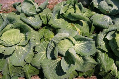 cabbage patch: Cabbage Patch -- fresh green vegetables, ready for the market