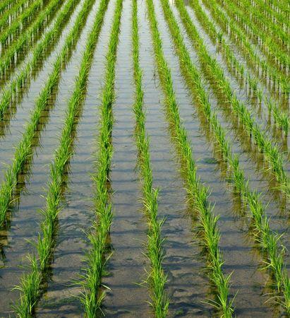 ordelijk: Rijst Veld - de zaailingen zijn geplant in ordelijke rijen Stockfoto