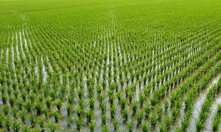 Chinese Rice Field -- the seedlings are planted in orderly rows