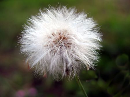 filaments: Tiny Dandelion -- showing the tiny filaments that carry the seeds