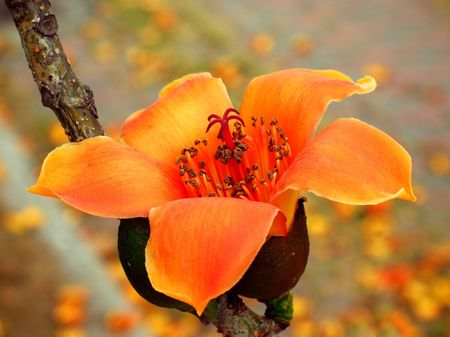 Red Silk Cotton Tree -- a tropical tree with the Latin name Bombax Ceiba Imagens