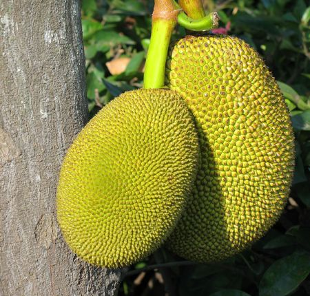 Ripe Jackfruits -- the scientific name for this fruit is Artocarpus heterophyllus) photo