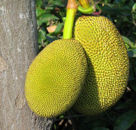 Ripe Jackfruits -- the scientific name for this fruit is Artocarpus heterophyllus)