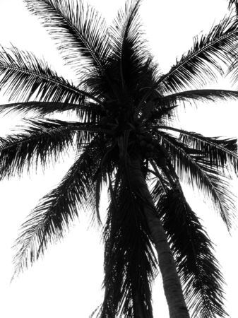 Palm Tree Outline -- the branches and leaves are seen as silhouettes Stock Photo - 2308624