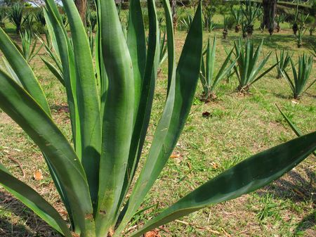 Sisal Hemp Plantation -- the scientific name for this plant is Agave sisalana