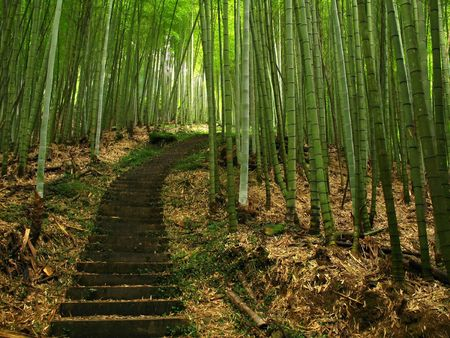 Green Bamboo -- a path leads through a lush bamboo forest in Taiwan photo