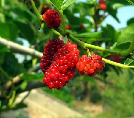 feedstock: Mulberry Tree -- Latin name is Morus Alba, the leaves are feedstock for silkworms