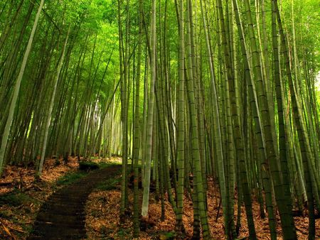straight path: Bamboo Forest -- with a hiking path, located in Taiwan