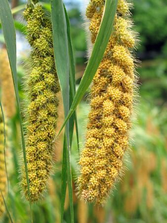 Millet Heads-- they are still attached to their stalks