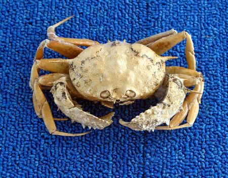 pokey: Big Crab -- this particular type is called circular or Dungeness crab