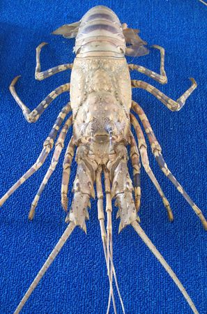 pokey: Large Lobster -- this particular type is called spiny lobster or crayfish