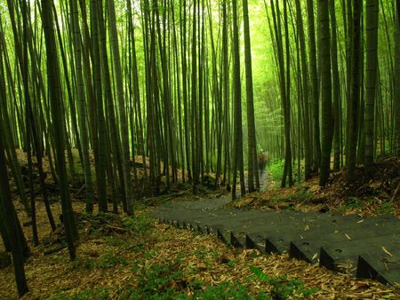 Lush bamboo forests on the slopes of Mount Ali in southern Taiwan photo