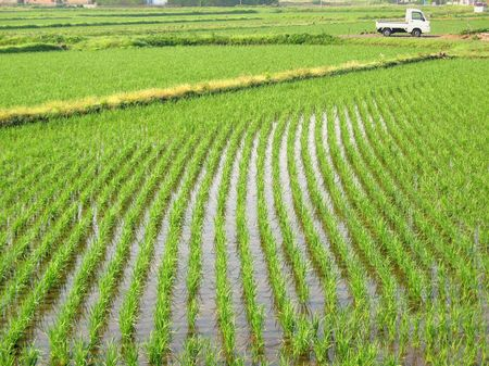 Large rice fields with orderly planted rows of seedlings Stock Photo