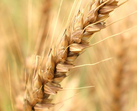 fruiting: A close look at the fruiting spike of a wheat plant