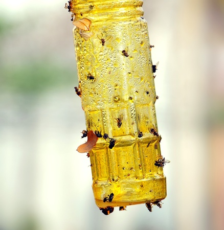 A bottle is covered with honey to be used as a fly trap Stock Photo