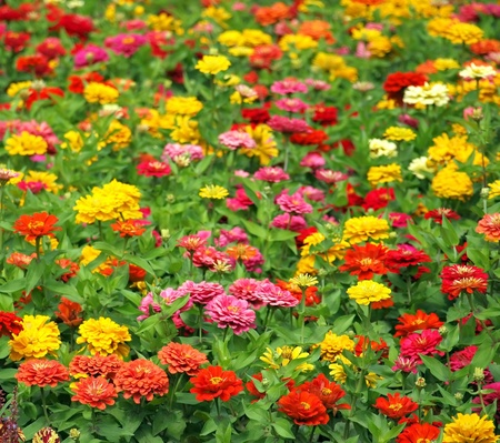 garden marigold: A field of Marigold flowers (Tagetes Patula) in vibrant colors. Stock Photo