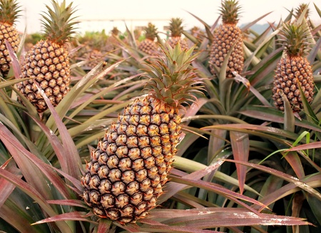Cultivated pineapple plants (Ananas comosus) with ripe fruits