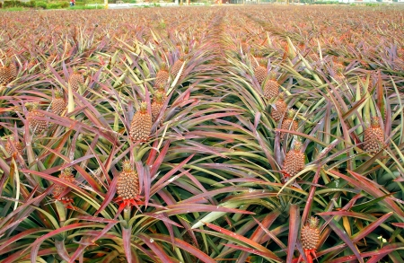 pokey: Rows of pineapple plants with fruit that it close to ripening