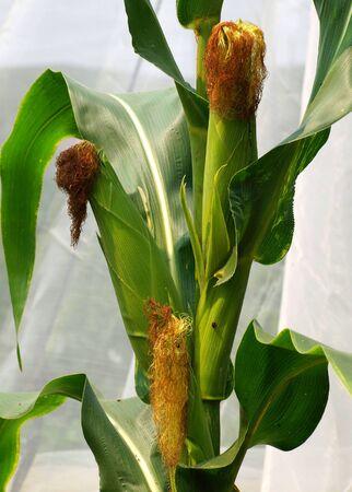 planta de maiz: Floración mazorcas de maíz en una planta de maíz Foto de archivo
