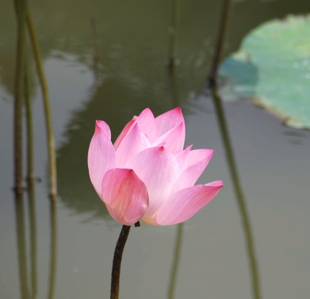 The beautiful lotus flower is a symbol for Buddhism in Asia photo