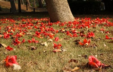 wilting: Las flores se marchitan de la mentira de seda rojo Cotton Tree (Bombax Ceiba) en el suelo