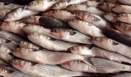 grey mullet: A large catch of grey mullet fish ready for auction Stock Photo