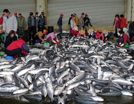 priced: SINDA PORT, TAIWAN -- DECEMBER 14, 2014: Workers extract mullet roes from freshly caught gray mullet fish. The roe will be pressed and salted and sold as a highly priced delicacy.