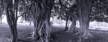 aerial roots: A group of large banyan trees with aerial roots