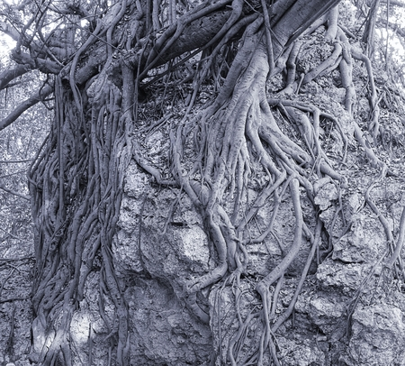 cling: The aerial roots of a banyan tree cling to a coral rock