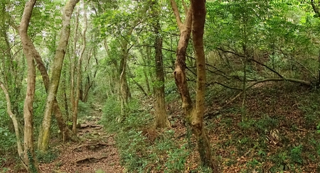 rugged: A dense natural forest with a rugged trail leading through it Stock Photo