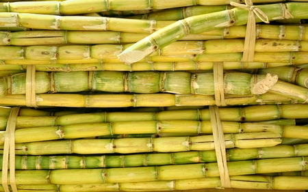 Fresh sugar cane is prepared for sweet juice extraction