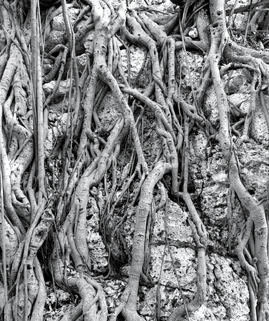 banyan tree: The powerful surface roots of a tropical Banyan Tree cling to the rocks in  a forest.