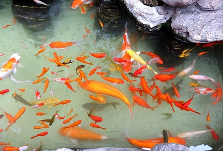 goldfishes: Water garden with rocks and goldfish pond