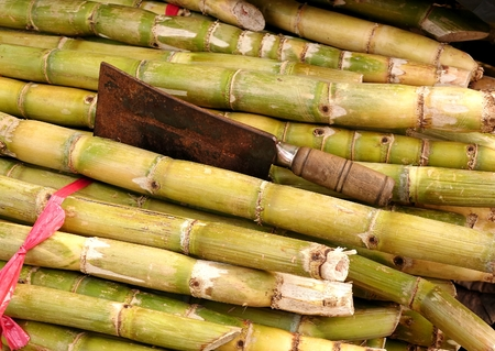 yellow stem: Fresh sugar cane for extracting the juice with an old rusty knife