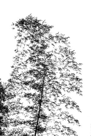 resembling: Silhouette of a bamboo tree resembling a Cinese ink painting Stock Photo