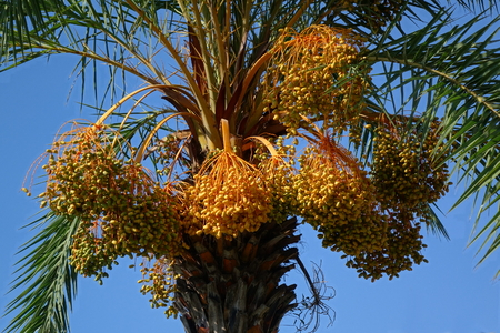 Areca or betel nut palm tree (Areca catechu) with ripe fruits Stock Photo